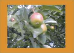 姫りんご2